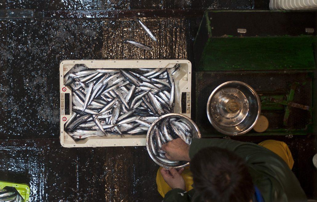 Clasificacion de la anchoa